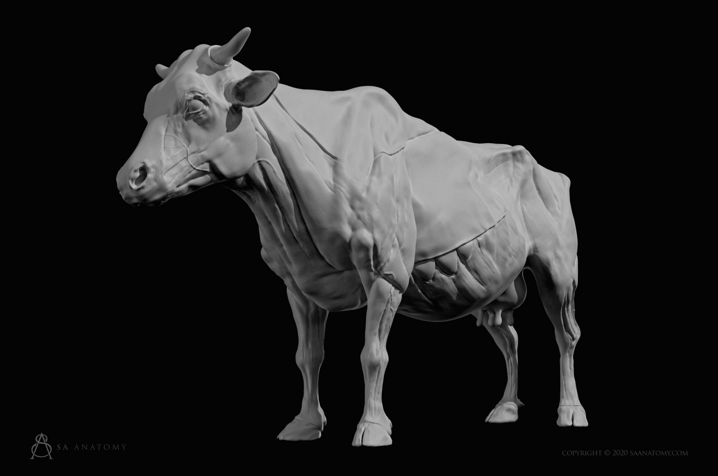 Cow-Bovine Anatomy