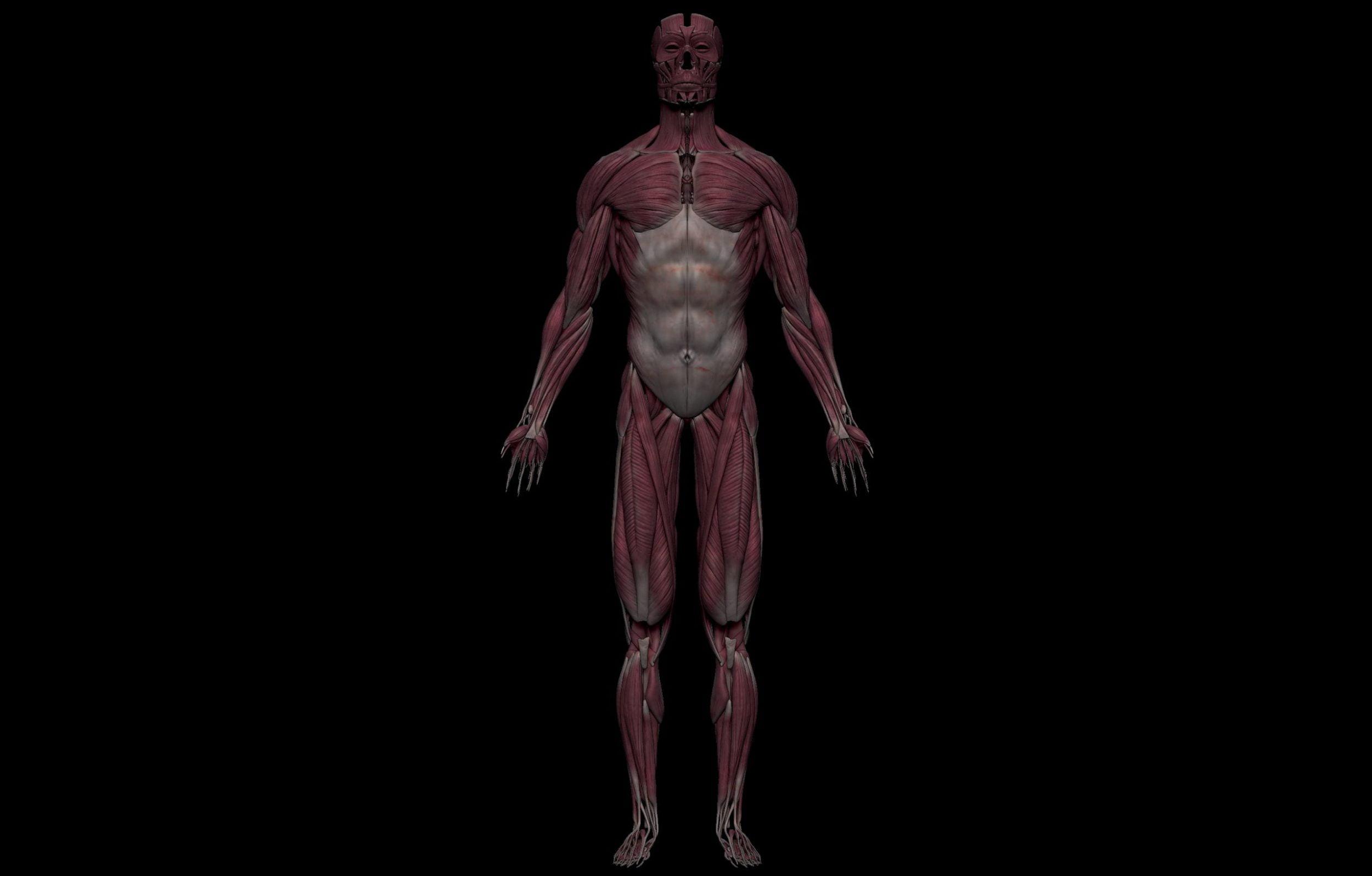 1 4 scaled SA Anatomy | Study Anatomy in 3D
