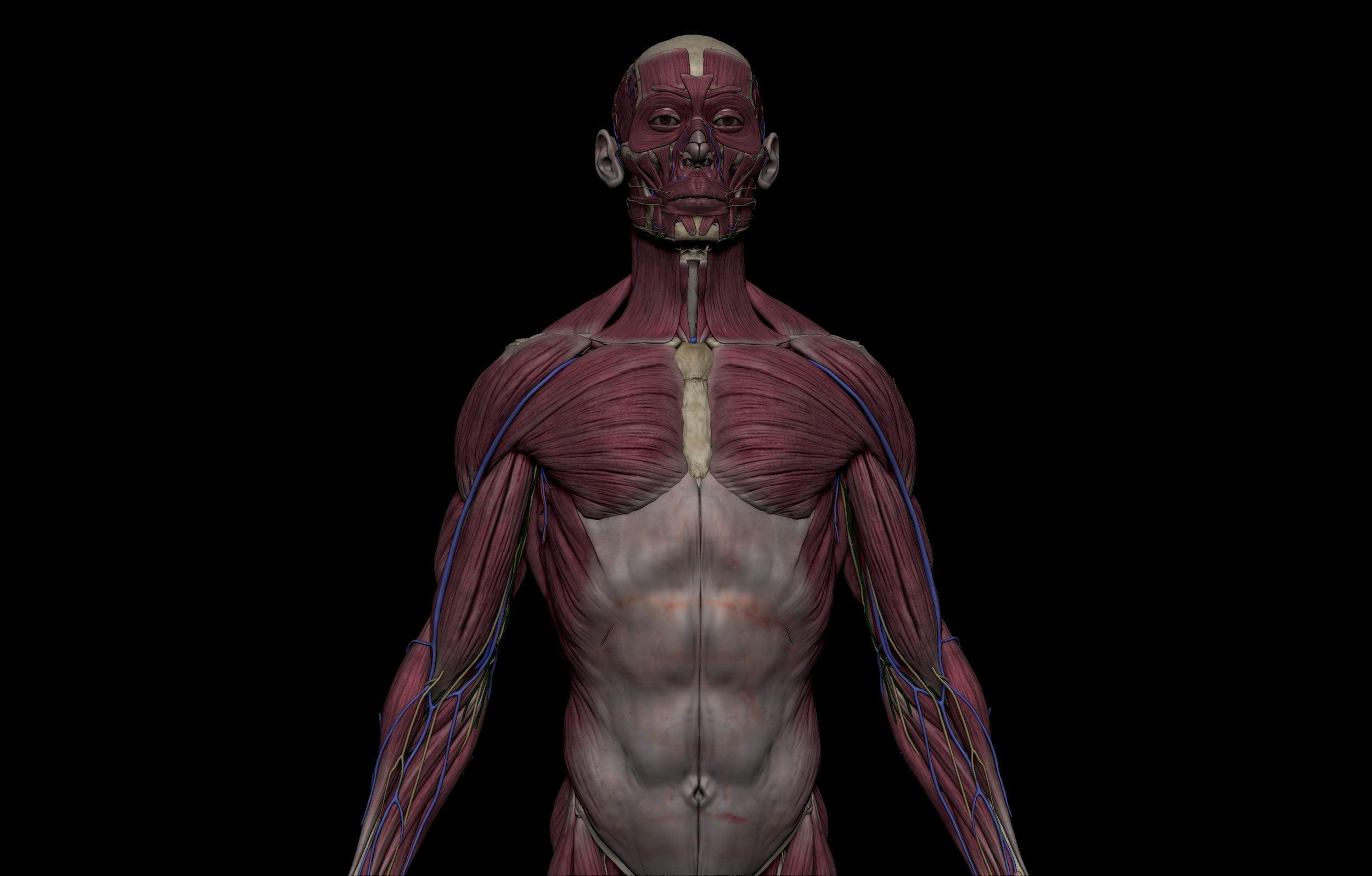 2 1 scaled SA Anatomy   Study Anatomy in 3D