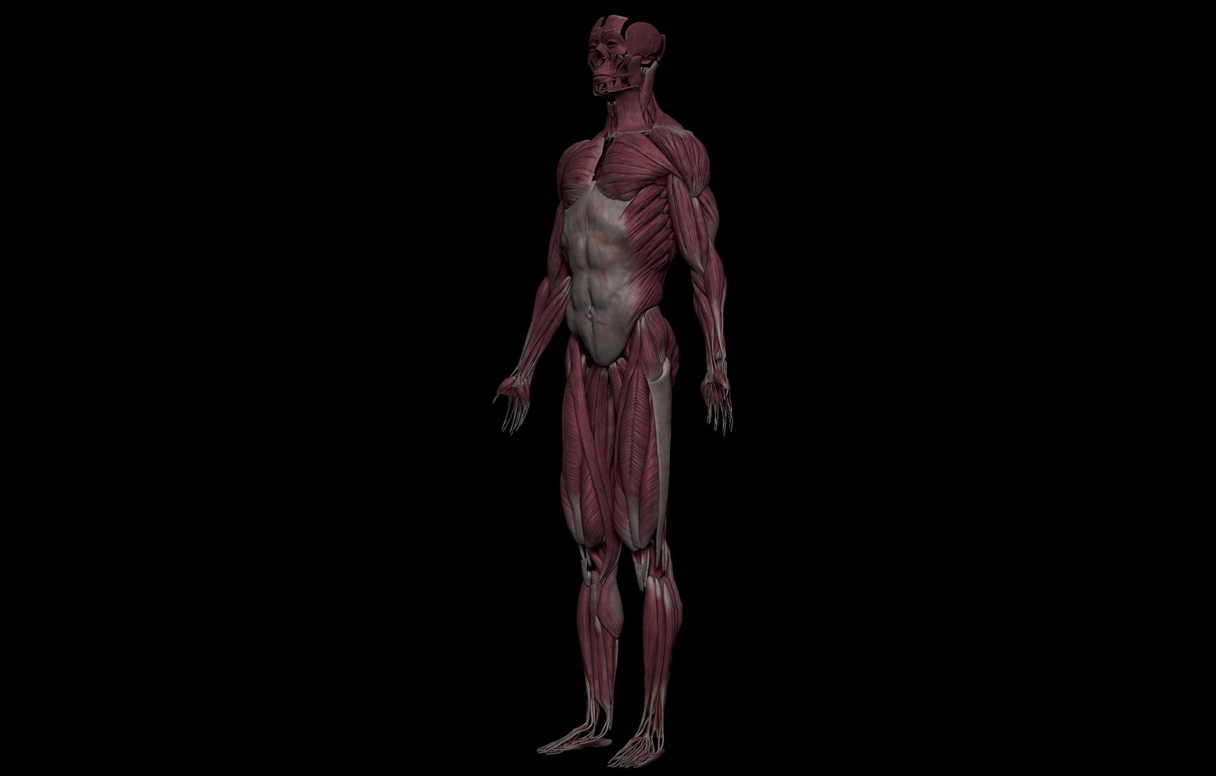 2 3 scaled SA Anatomy   Study Anatomy in 3D