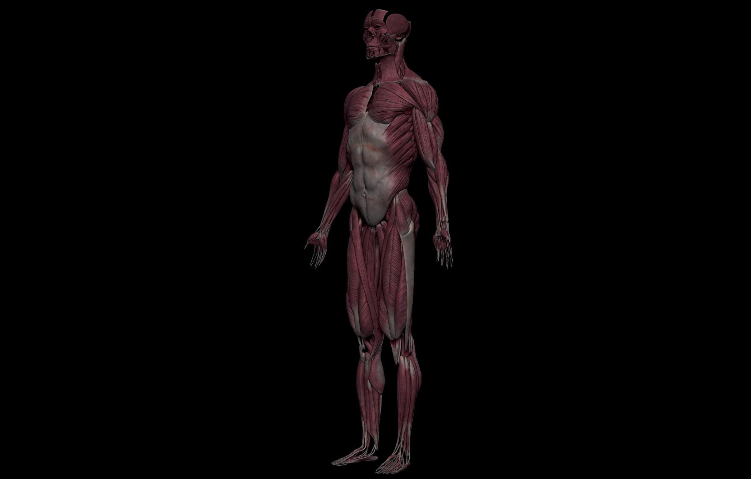 2 3 scaled SA Anatomy | Study Anatomy in 3D