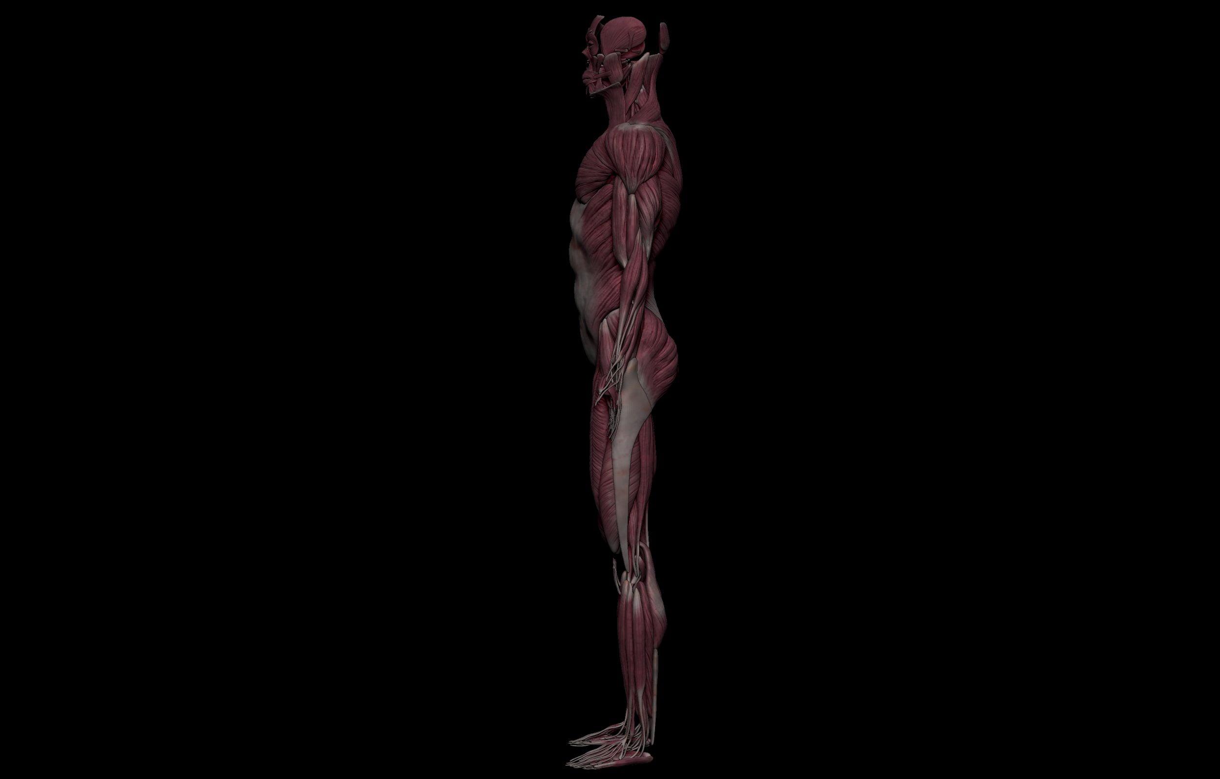 3 3 scaled SA Anatomy   Study Anatomy in 3D