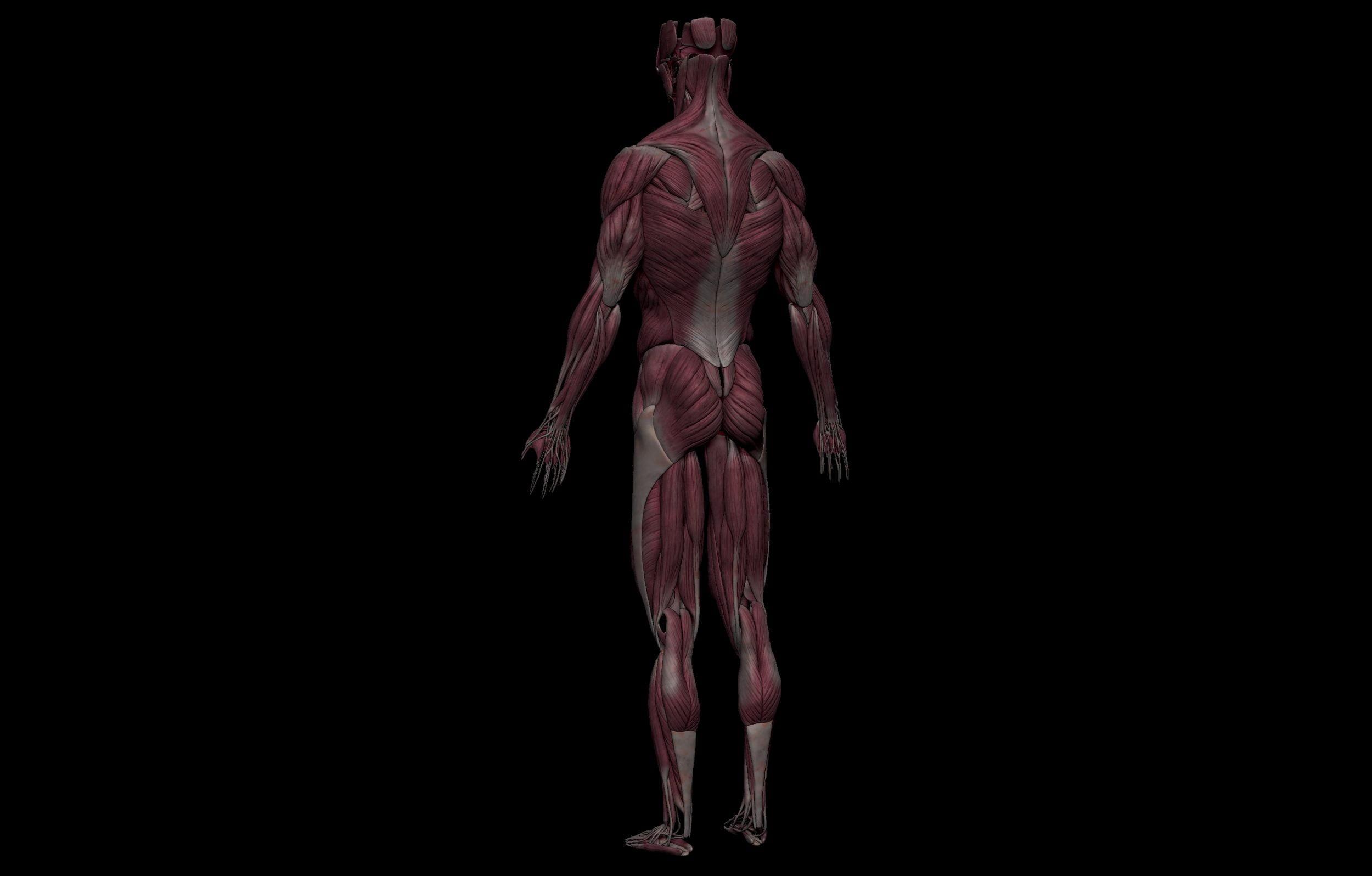 4 3 scaled SA Anatomy   Study Anatomy in 3D