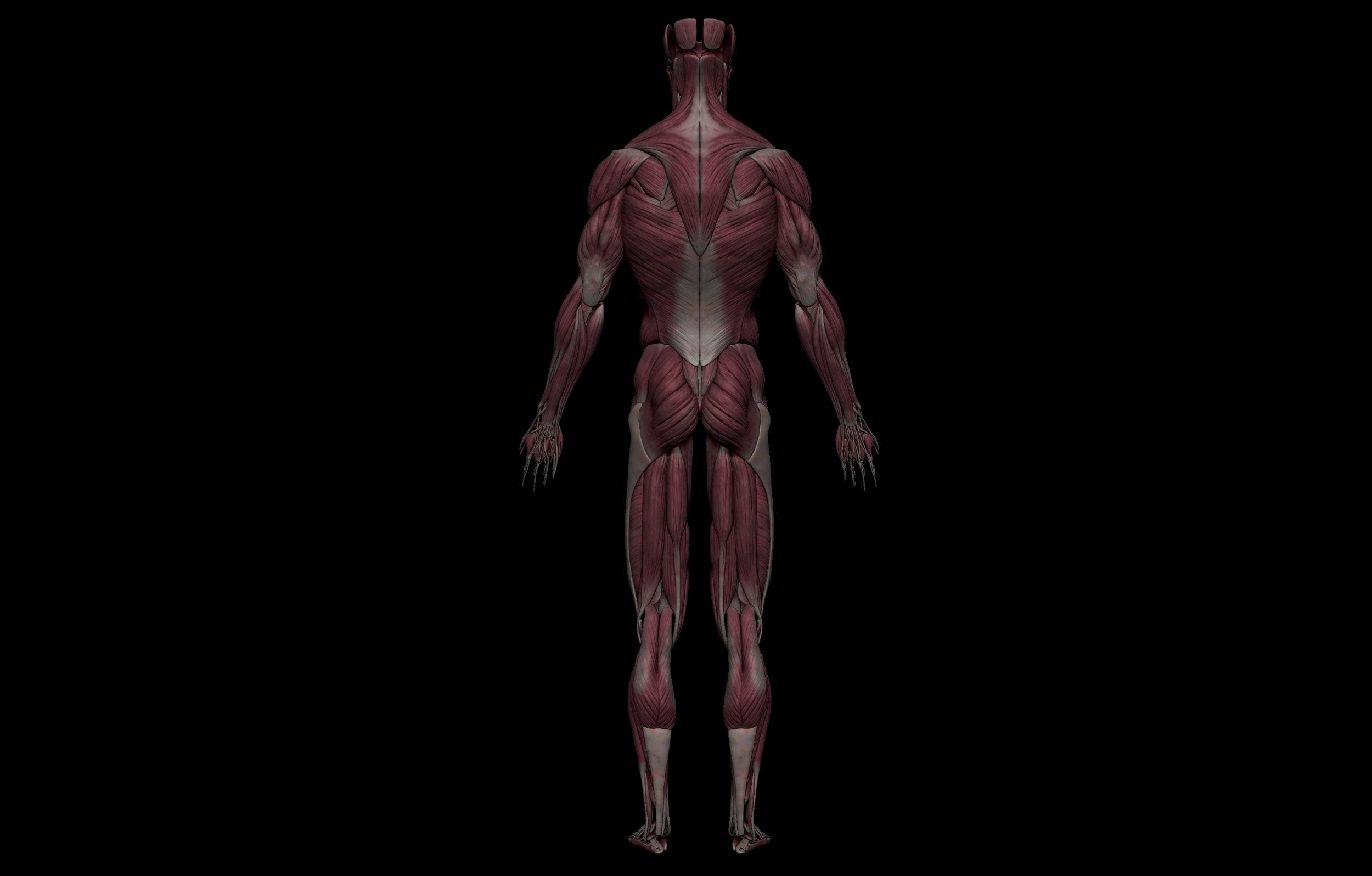 5 3 scaled SA Anatomy   Study Anatomy in 3D
