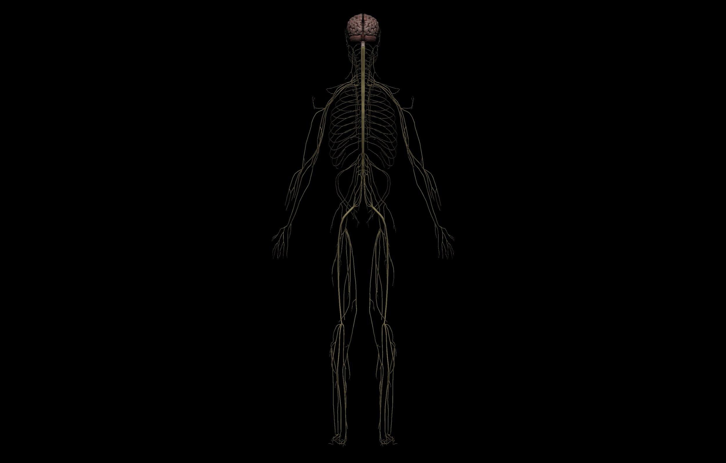 5 5 scaled SA Anatomy | Study Anatomy in 3D