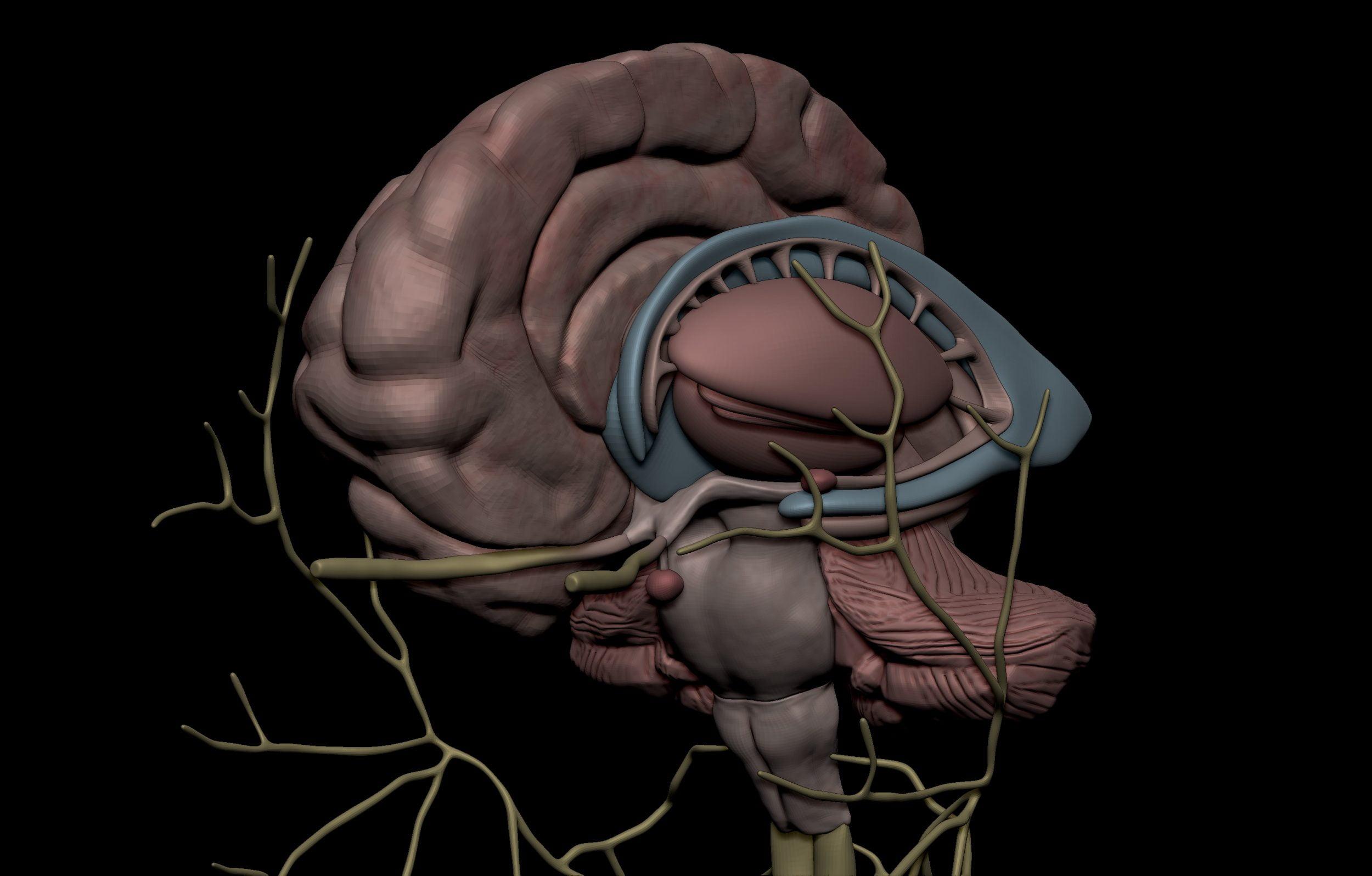 6 5 scaled SA Anatomy | Study Anatomy in 3D