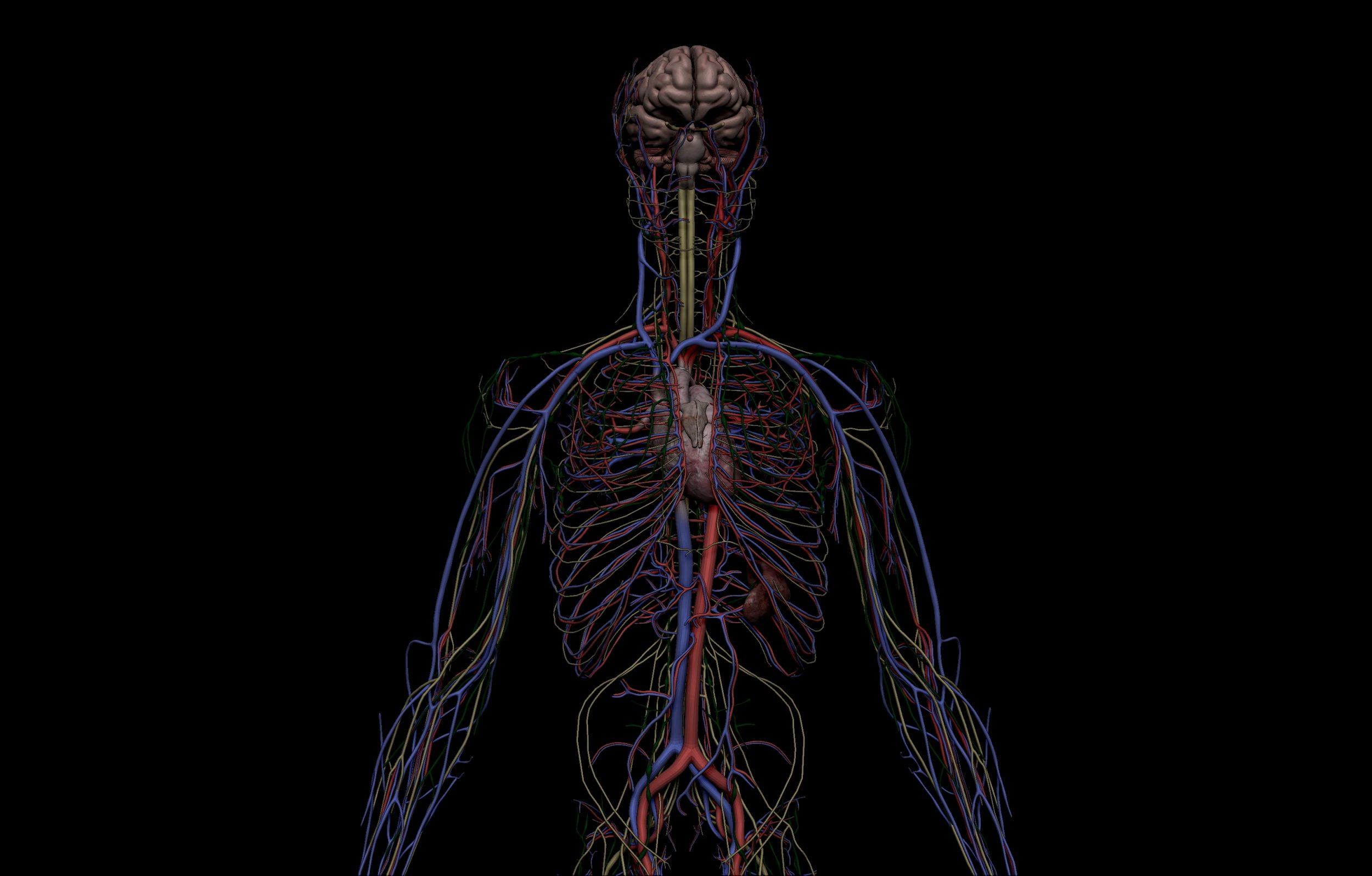 8 scaled SA Anatomy   Study Anatomy in 3D