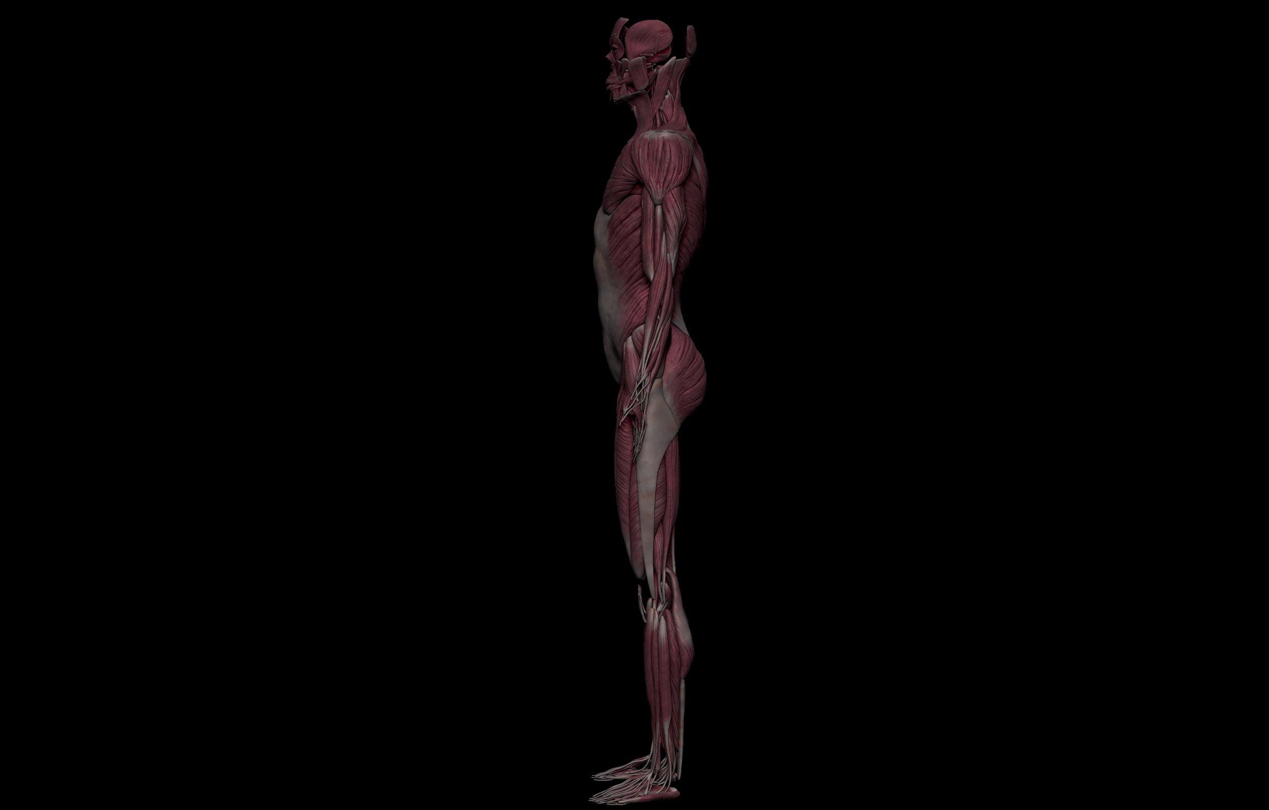 3 3 scaled SA Anatomy | Study Anatomy in 3D