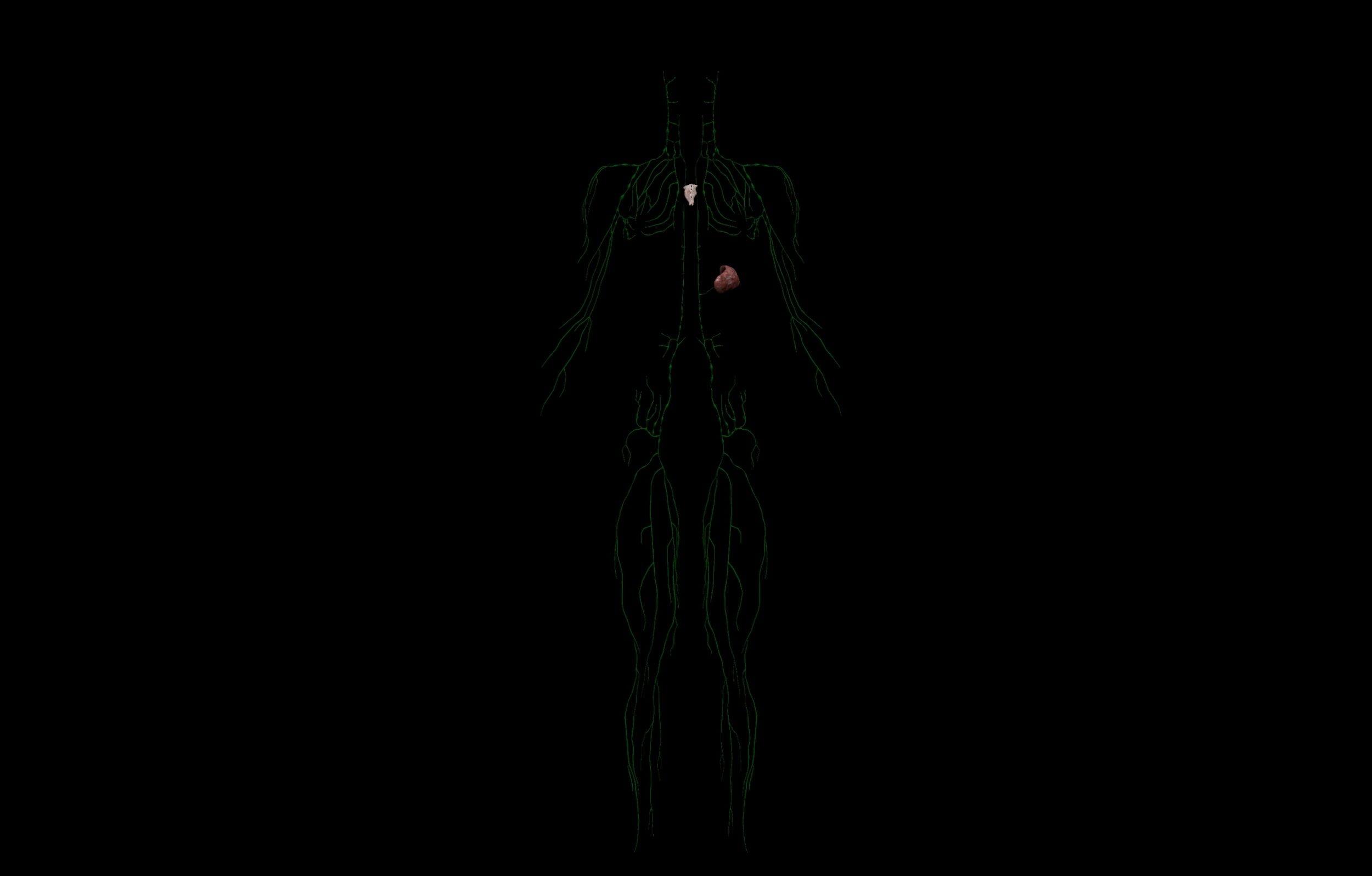 5 scaled SA Anatomy | Study Anatomy in 3D