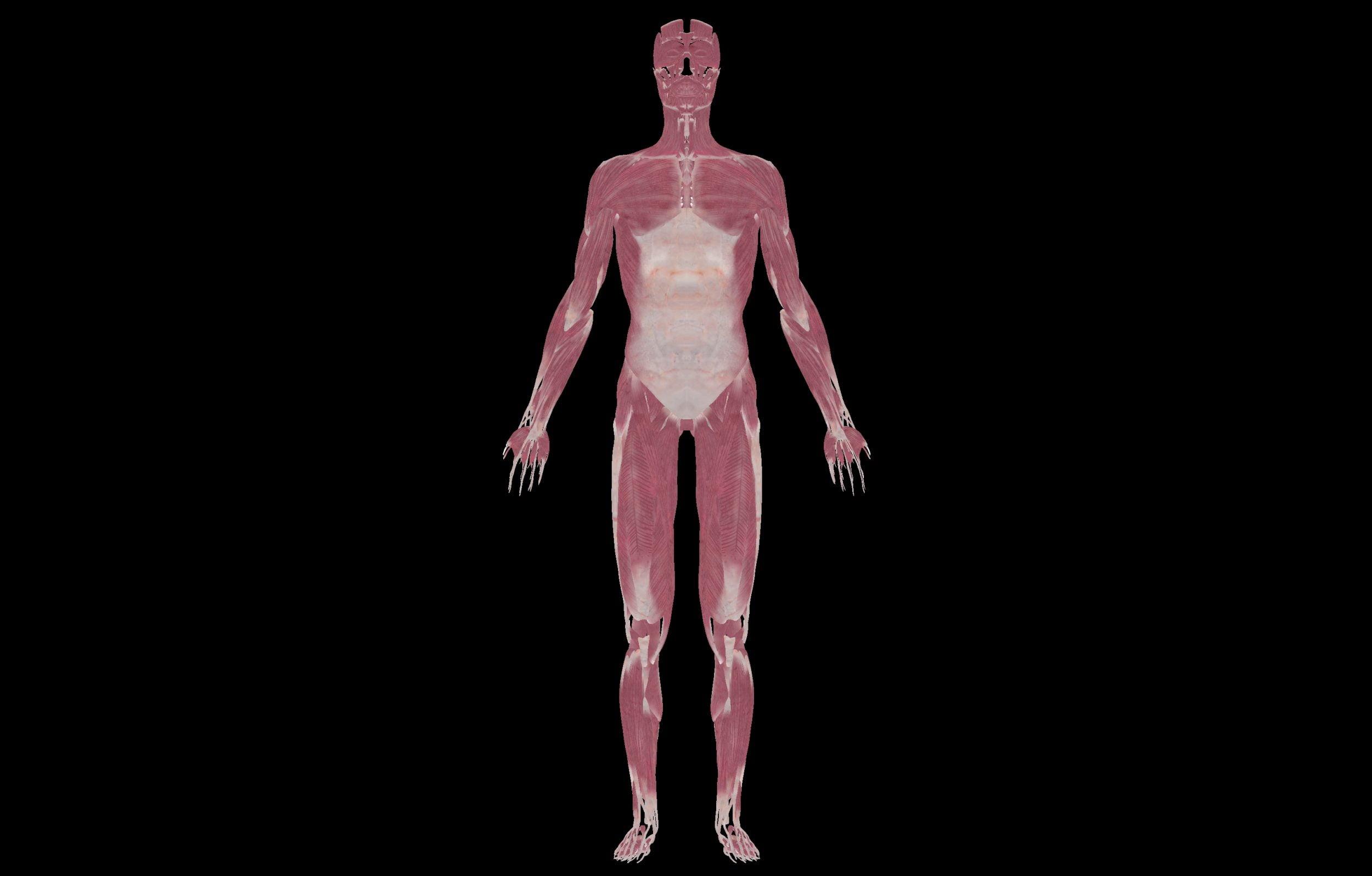 6 3 scaled SA Anatomy | Study Anatomy in 3D