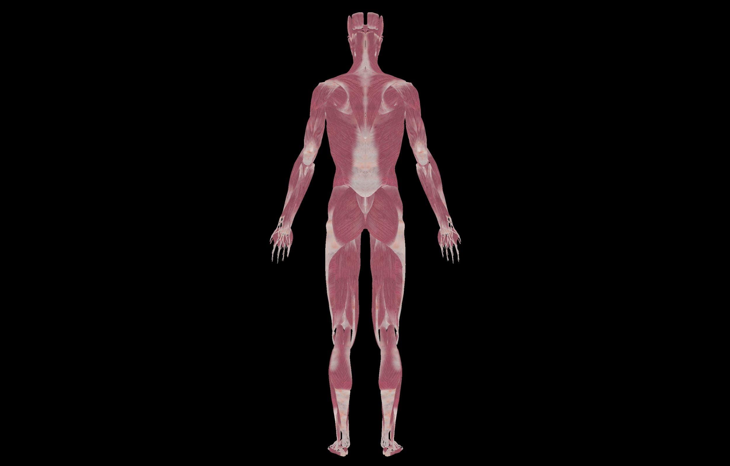 7 3 scaled SA Anatomy | Study Anatomy in 3D