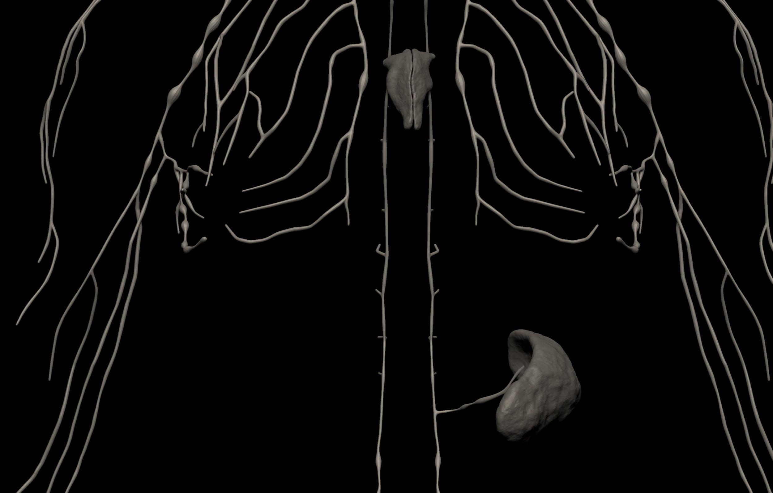 9 scaled SA Anatomy | Study Anatomy in 3D