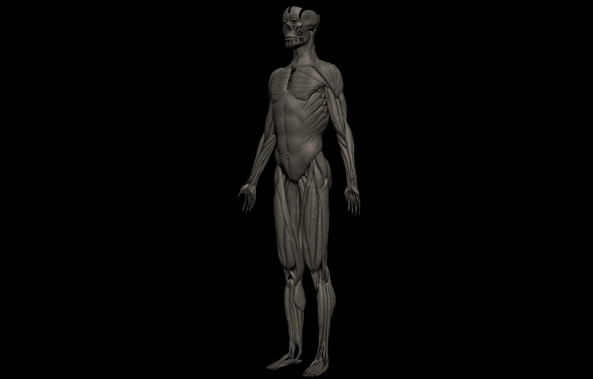 9 3 scaled SA Anatomy | Study Anatomy in 3D
