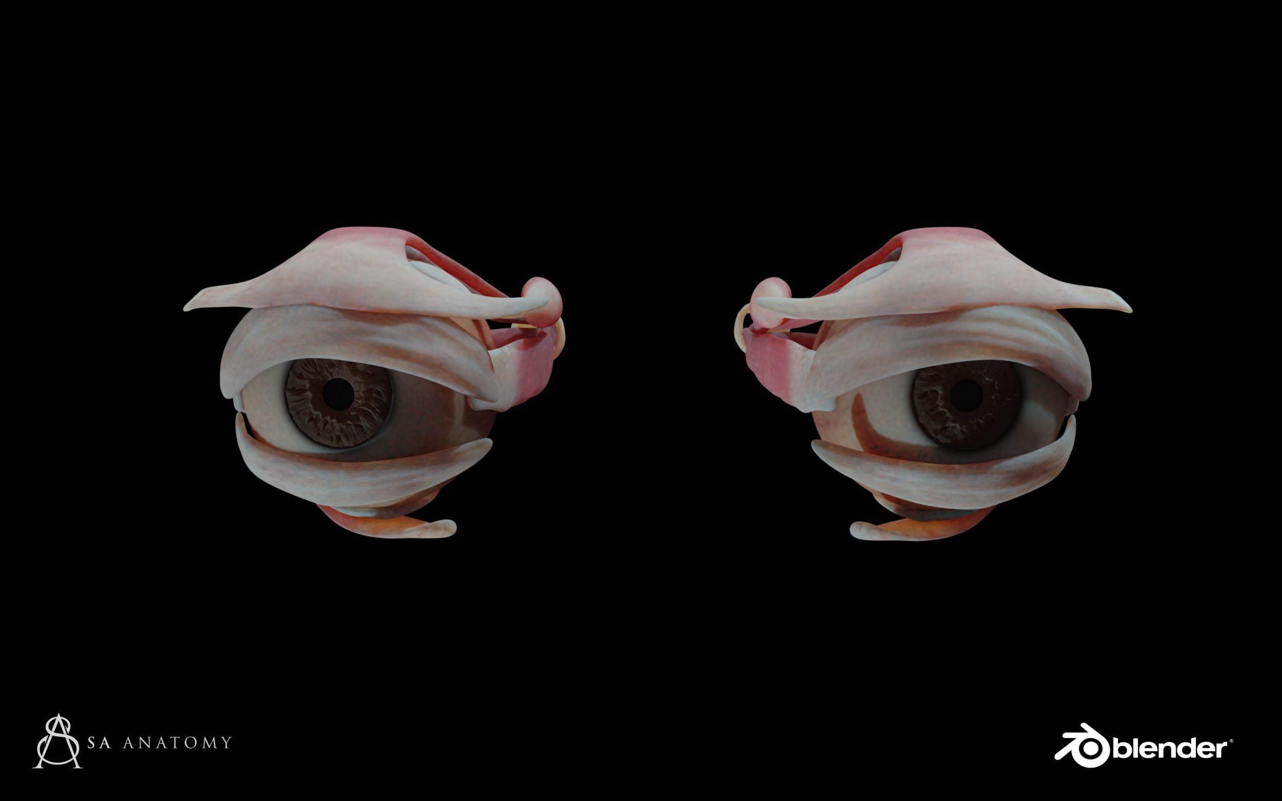eye anatomy 3d model